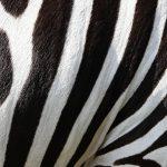 Marble zebra – discover grasslands